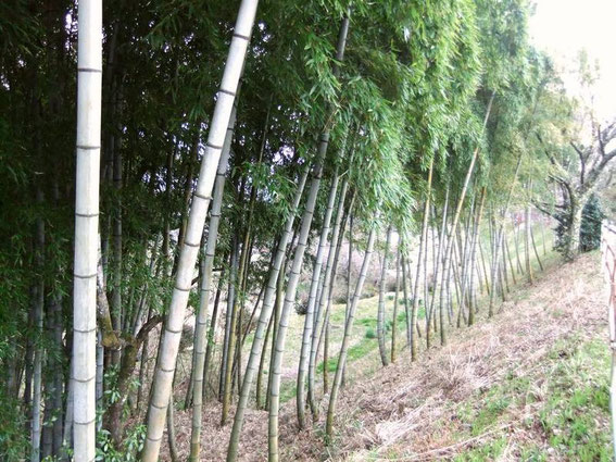 Magome : bambouseraies