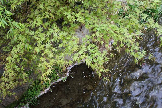 canal shirakawa et feuilles d'érable bien vertes