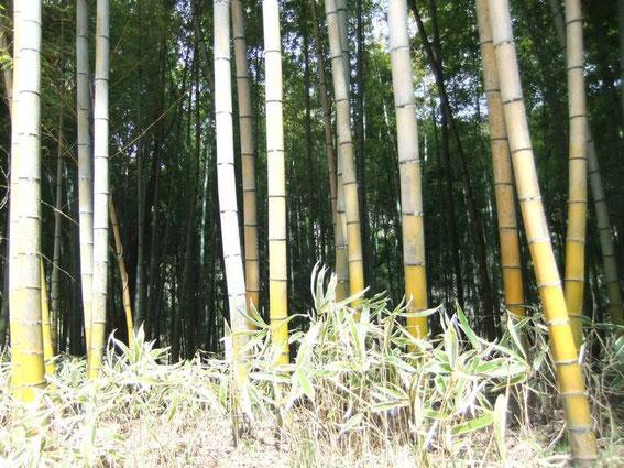 Forêt de bambous sur le Nakasendō