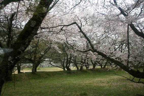 Ieyama 家山 et ses cerisiers