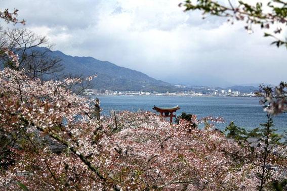 Sakura, torii flottant et baie de Miyajima