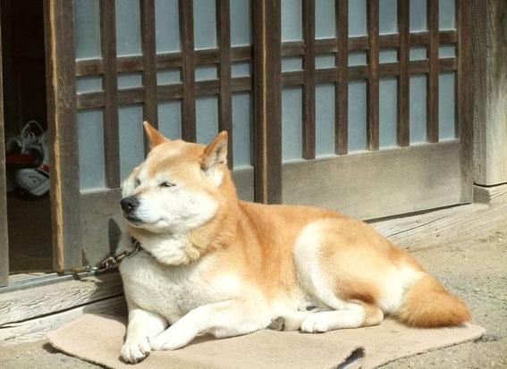 un akita inu (ou akita ken) - le chien japonais qui sourit et a les yeux... bridés
