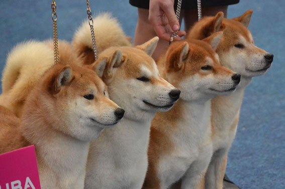 A Borzoi Dog OUR NEWS: - shibas-inu...