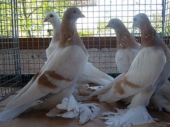 Agaran Tauben von Walter Zeeb , eine interessante Flug- und Ausstellungstaube
