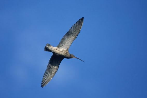großer Brachvogel, Foto: Birdlife Österreich