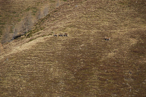 Ein Hirschrudel streift über die steilen Wiesenhänge