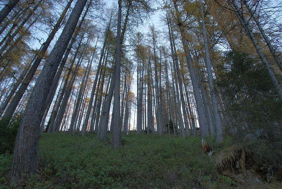 Der herrliche Lärchenwald