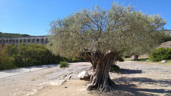 Pont du Gard premier plan arbre