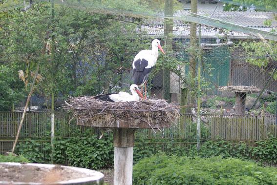 Storchenpaar in der Voliere