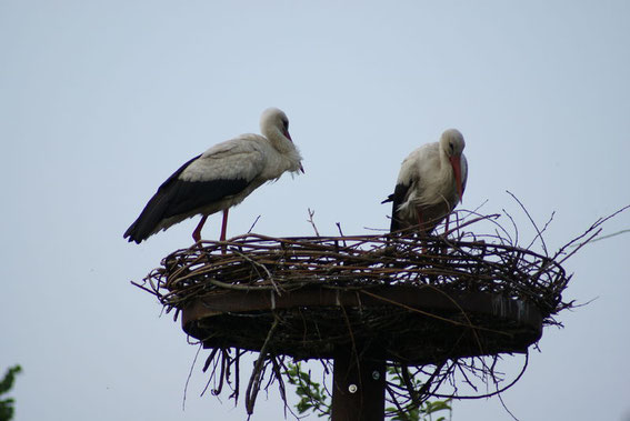 Storchenpaar kam in einer Gruppe von 8 Störchen am 2.6.08
