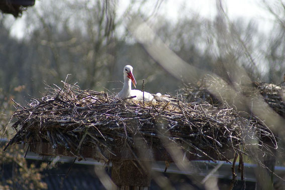 Altvogel bei der Brut