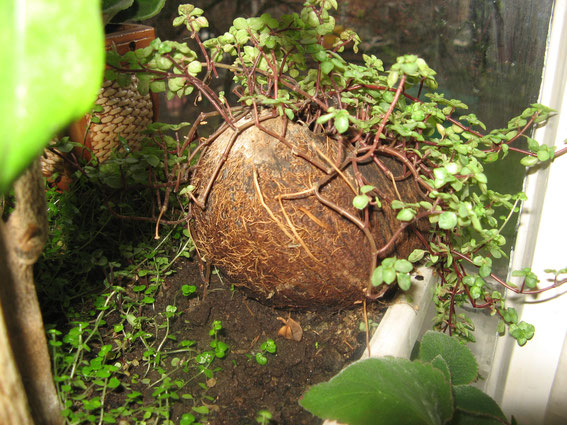 Кашпо из кокоса.Миниатюрный и сказочный  сад   дома. Бонсай, миниатюра, комнатные растения, кукольный домик, цветы. флора арт. Бонсай, миниатюра, комнатные растения, кукольный домик, цветы. флора арт, прудик, мостик,
