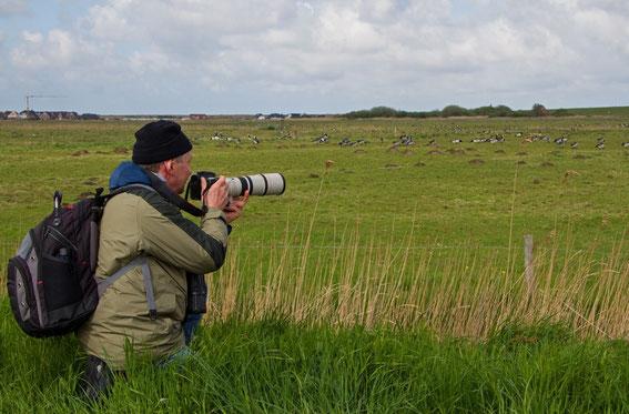 Beim Fotografieren von Weisswangengänsen auf der Halbinsel Eiderstedt im Mai 2013