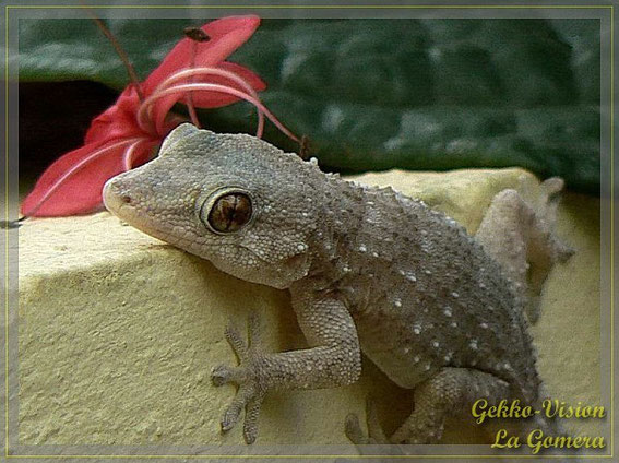 Gomera gekko / Tarentola gomerensis / Gomera gecko / La Gomera