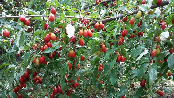 Cornus-Mas Blüte im März/April Früchte im September/Oktober
