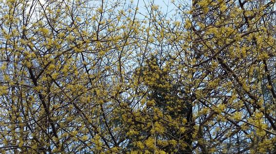 Cornelkirsche - Blüte im März