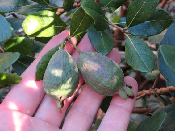 Unreife Früchte im September 2014 an ausgepflanzter Acca sellowiana