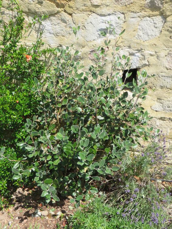Ausgepflanzte Acca sellowiana im Burgund