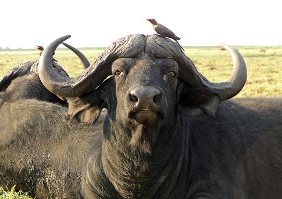 Büffel mit Madenhackern