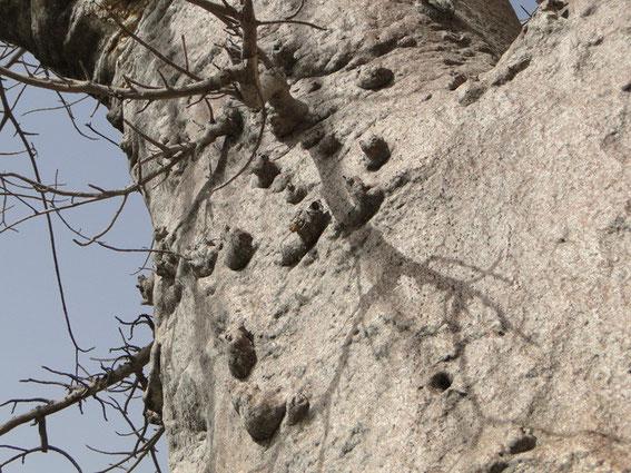 Skin of Green's Baobab