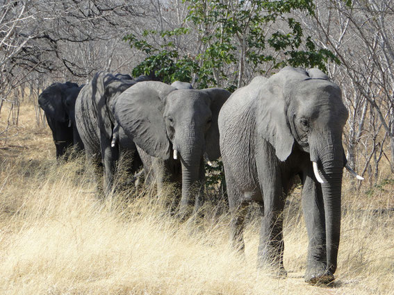 Finally and with big regret, I had to leave behind the grey giants of Chobe National Park