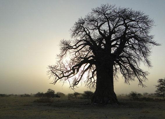 3. Baobab