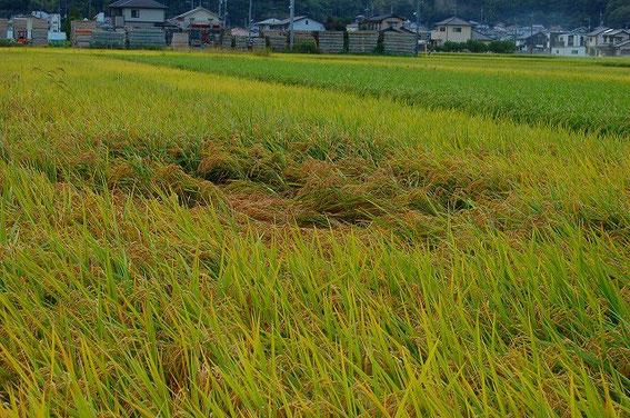 慣行栽培の田んぼです… がんばって欲しい…!稲君、がんばれ!!