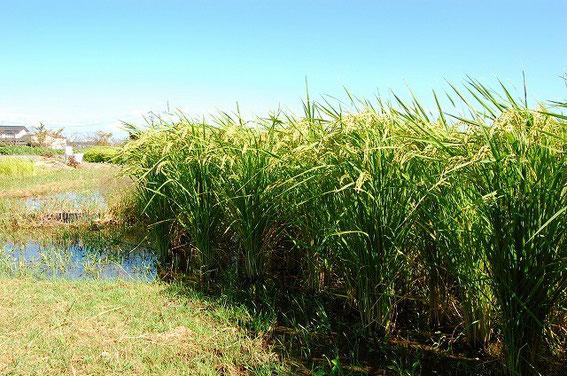 自然栽培の稲君たちもがんばれー!
