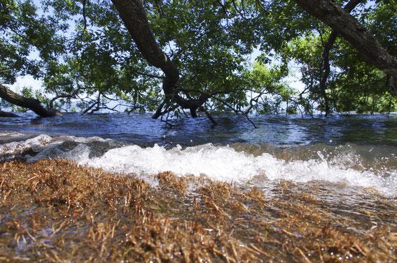 春から初夏の頃、湖岸の丸葉柳の根っこにはホンモロコの卵が多数産み付けられる(07号を御覧ください))