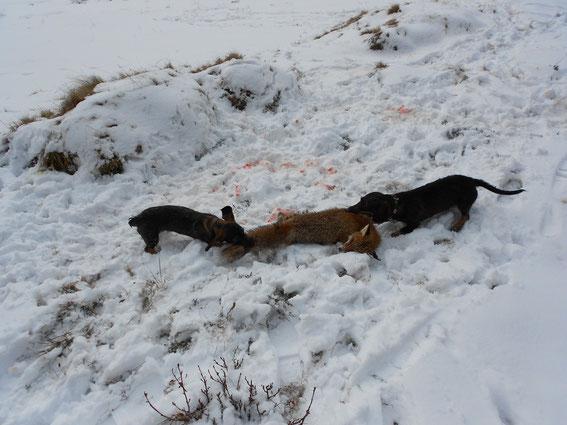 Erlegter Fuchs zum Üben auf Schweissfährte für Raja