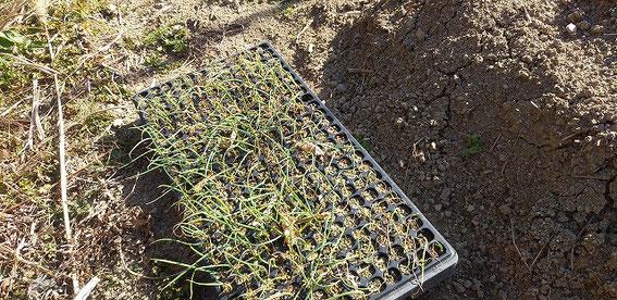 初めて玉ねぎの苗を始めてみました。小さいネギが密集している!