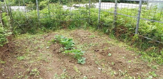 After.2 畑の内部。残っているのがサツマイモです