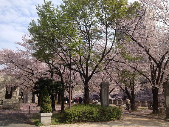 天神中央公園の桜 その1