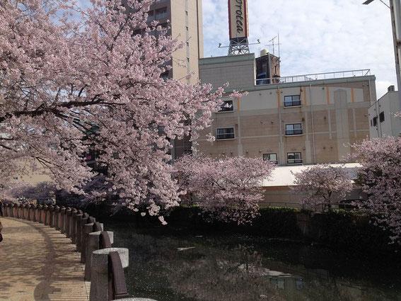 天神中央公園の桜 その3