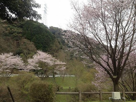 犬鳴ダムの公園の桜 その2