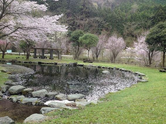 犬鳴ダムの公園の桜 その1