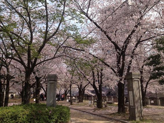 天神中央公園の桜 その2