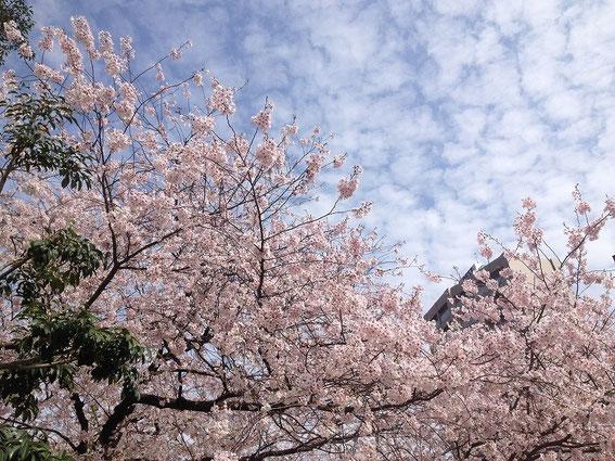 天神中央公園の桜 その4