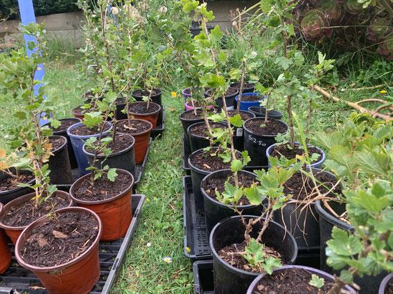 Growing heirloom gooseberries.