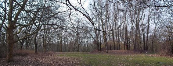 Plateau derrière la caserne : pelouse, Platanes (gauche) et Saules blancs (droite), mars 2013