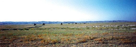 ラクダの群れに出会った。野生だろうか・・・人もいないし・・・