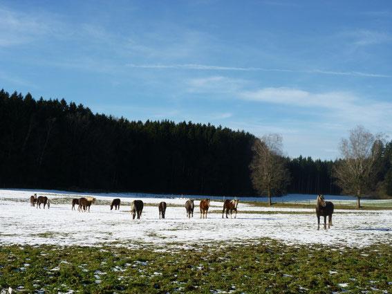 Unsere Schwarzwälder Dunkelfüchse auf der winterlichen Koppel