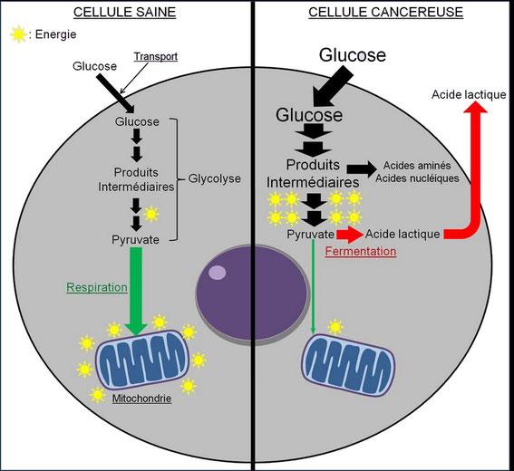 Dérégulation du métabolisme énergétique dans les cellules cancéreuses. © Grégory Ségala (http://www.futura-sciences.com/sante/dossiers/medecine-cancer-mecanismes-biologiques-1453/page/12/)