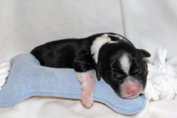 Schmatzen Und Schnarchen Little People Tibet Terriers Webseite