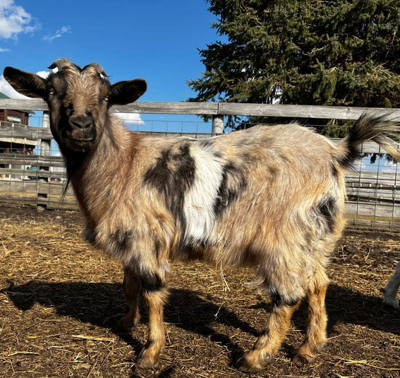 Dolly is heavily moonspotted Black, white, tan, chocolate; Horned; Marble eyed