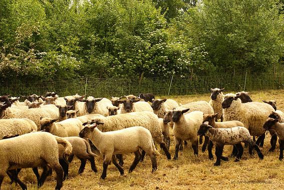 Gefühlte 493 Schafe und ein Hund!