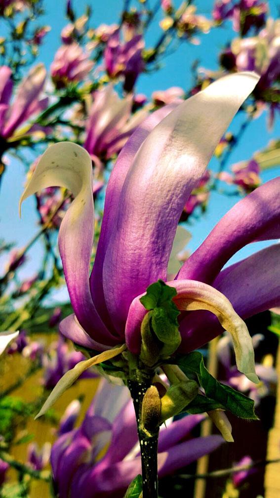 Ein wunderschöner Magnolien Schwan