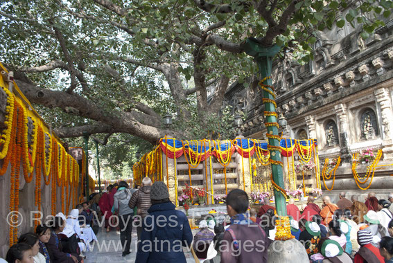 Bodhi Tree Mahabodhi Main Temple Bodhgaya