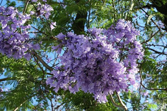 Jacarand Blumen
