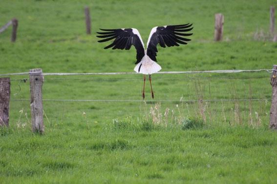 Weibchen DEH H7054, Foto: Sven Andersen, 30.04.15